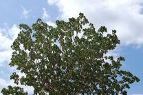 Sterculia apetala, árbol Panamá.