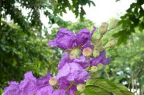 Lagerstroemia speciosa, flores de astromelia.