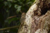 Cicadidae, conocidos vulgarmente como cigarras, se encuentran en el área boscosa