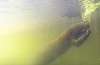 La subespecie de manatí conocida como manatí antillano es poco conocida y se encuentra en peligro de extinción.